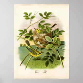 Aguafuerte zoológica clásica - curruca de la póster