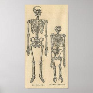 Aguafuerte zoológica clásica - esqueletos póster