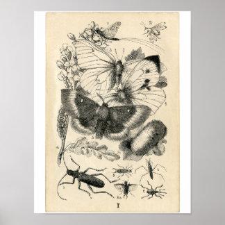 Aguafuerte zoológica clásica - insectos póster