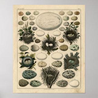 Aguafuerte zoológica clásica - jerarquías y huevos posters
