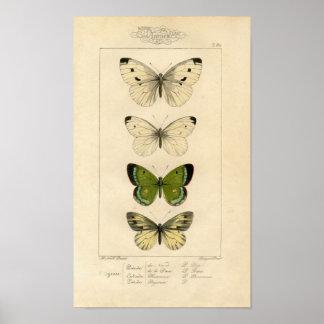 Aguafuerte zoológica clásica - mariposas póster
