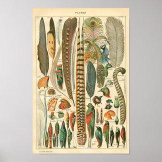Aguafuerte zoológica clásica - pájaros y plumaje póster
