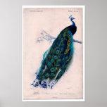Aguafuerte zoológica clásica - pavo real póster