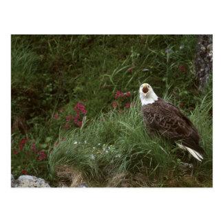 Águila calva de los E.E.U.U., Alaska, isla de Unal Tarjetas Postales