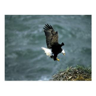 Águila calva en vuelo, archipiélago del Kodiak, Postal