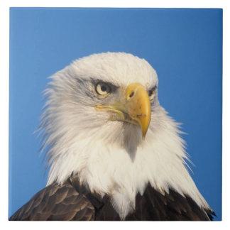 águila calva, leuccocephalus del Haliaeetus, 2 Azulejo Cuadrado Grande