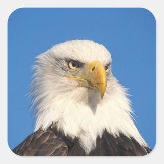 águila calva leuccocephalus del Haliaeetus 2 Calcomanías Cuadradass