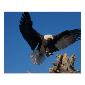 águila calva, leuccocephalus del Haliaeetus, aterr Impresiones