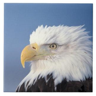 águila calva, leuccocephalus del Haliaeetus, Azulejo Cuadrado Grande