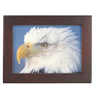 águila calva, leuccocephalus del Haliaeetus, Caja De Recuerdos