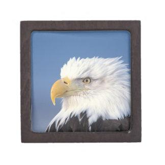 águila calva, leuccocephalus del Haliaeetus, Caja De Joyas De Calidad