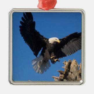 águila calva, leuccocephalus del Haliaeetus, Adorno Cuadrado Plateado