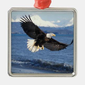 águila calva, leuccocephalus del Haliaeetus, en Adorno Cuadrado Plateado