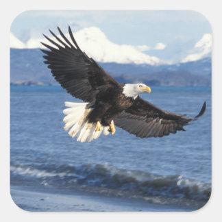 águila calva, leuccocephalus del Haliaeetus, en Pegatina Cuadrada