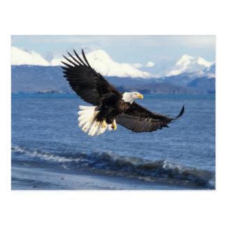 águila calva, leuccocephalus del Haliaeetus, en Postal
