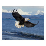 águila calva, leuccocephalus del Haliaeetus, en vu Póster