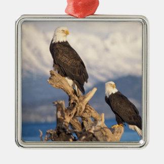 águila calva, leuccocephalus del Haliaeetus, par Adorno Cuadrado Plateado