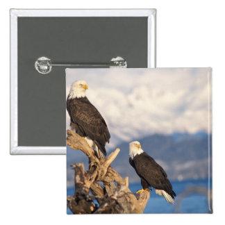 águila calva, leuccocephalus del Haliaeetus, par Pin Cuadrada 5 Cm