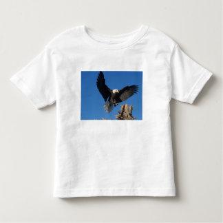 águila calva, leuccocephalus del Haliaeetus, Poleras