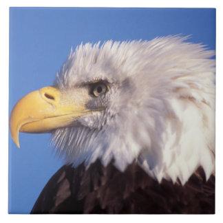 águila calva, leucocephalus del Haliaeetus, cierre Azulejos