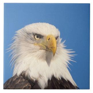 águila calva, leucocephalus del Haliaeetus, cierre Azulejo Cuadrado Grande