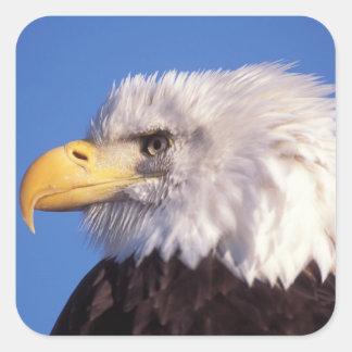 águila calva, leucocephalus del Haliaeetus, cierre Pegatina Cuadrada
