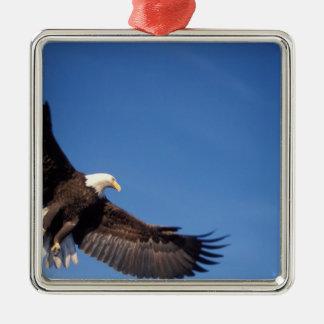 águila calva, leucocephalus del Haliaeetus, en Adorno Cuadrado Plateado