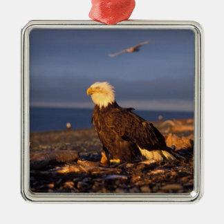 águila calva, leucocephalus del Haliaeetus, en una Adorno Cuadrado Plateado