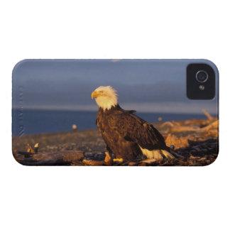 águila calva, leucocephalus del Haliaeetus, en una iPhone 4 Case-Mate Carcasa