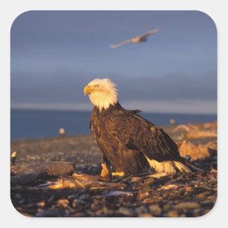 águila calva, leucocephalus del Haliaeetus, en una Pegatina Cuadrada