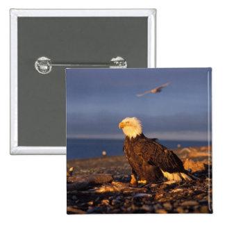 águila calva, leucocephalus del Haliaeetus, en una Pin Cuadrada 5 Cm
