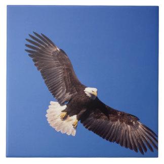águila calva, leucocephalus del Haliaeetus, en vue Azulejo Cuadrado Grande