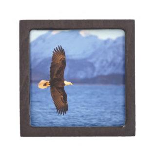 águila calva, leucocephalus del Haliaeetus, en vue Caja De Recuerdo De Calidad