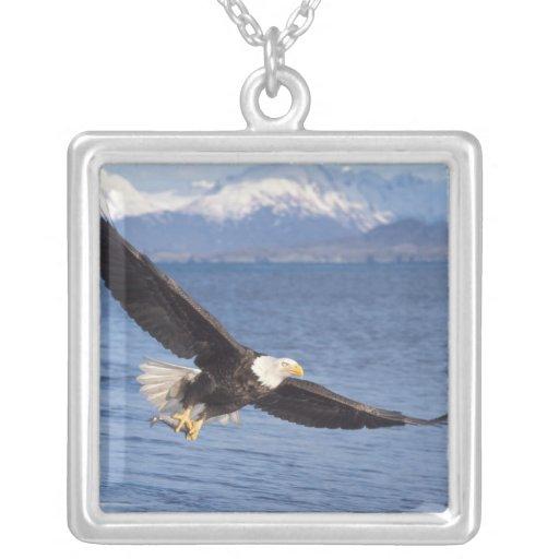 águila calva, leucocephalus del Haliaeetus, en vue Collares