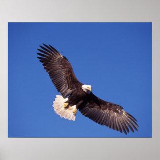 águila calva, leucocephalus del Haliaeetus, en vue Impresiones