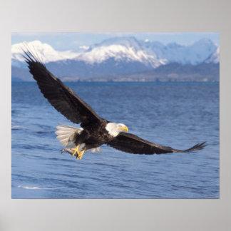 águila calva, leucocephalus del Haliaeetus, en vue Póster
