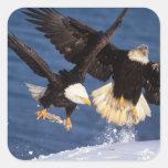 águila calva, leucocephalus del Haliaeetus, Colcomanias Cuadradass