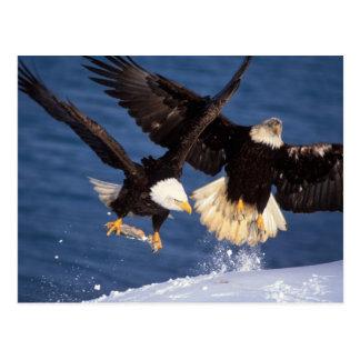 águila calva, leucocephalus del Haliaeetus, Postal