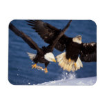 águila calva, leucocephalus del Haliaeetus, sacand Imán De Vinilo