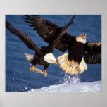 águila calva, leucocephalus del Haliaeetus, sacand Poster