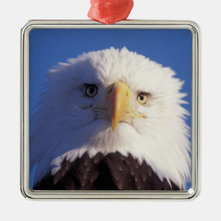 águila calva, leucocephalus del Haliaeetus, tiro Adorno Cuadrado Plateado