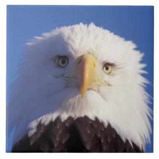 águila calva, leucocephalus del Haliaeetus, tiro p Azulejos Cerámicos
