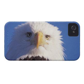 águila calva, leucocephalus del Haliaeetus, tiro p iPhone 4 Case-Mate Cárcasas