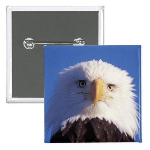 águila calva, leucocephalus del Haliaeetus, tiro p Pin Cuadrado