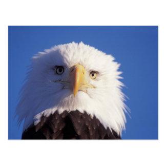 águila calva, leucocephalus del Haliaeetus, tiro Tarjeta Postal
