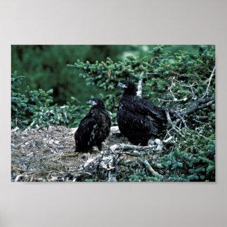 Águila calva no madura posters