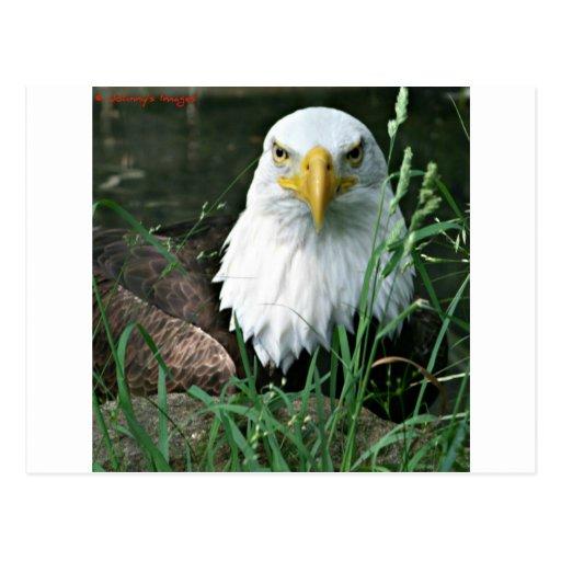 águila calva postal