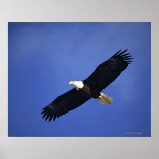 Águila calva que se eleva, Alaska Póster