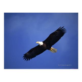 Águila calva que se eleva, Alaska Tarjetas Postales