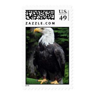 Águila calva Sitka Alaska los E E U U